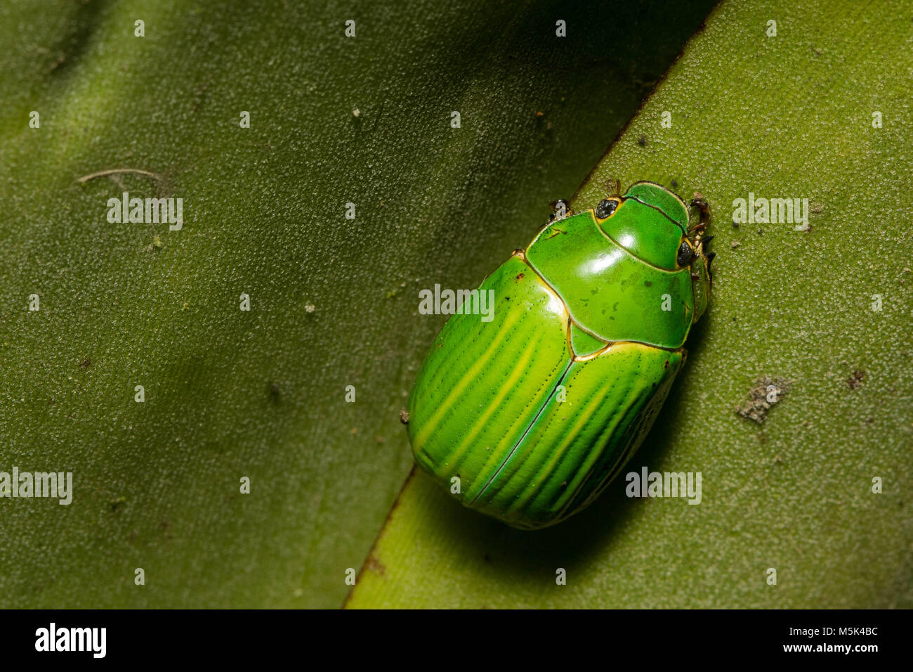A beautiful green Scarab beetle from the Andes of Ecuador. - Stock Image