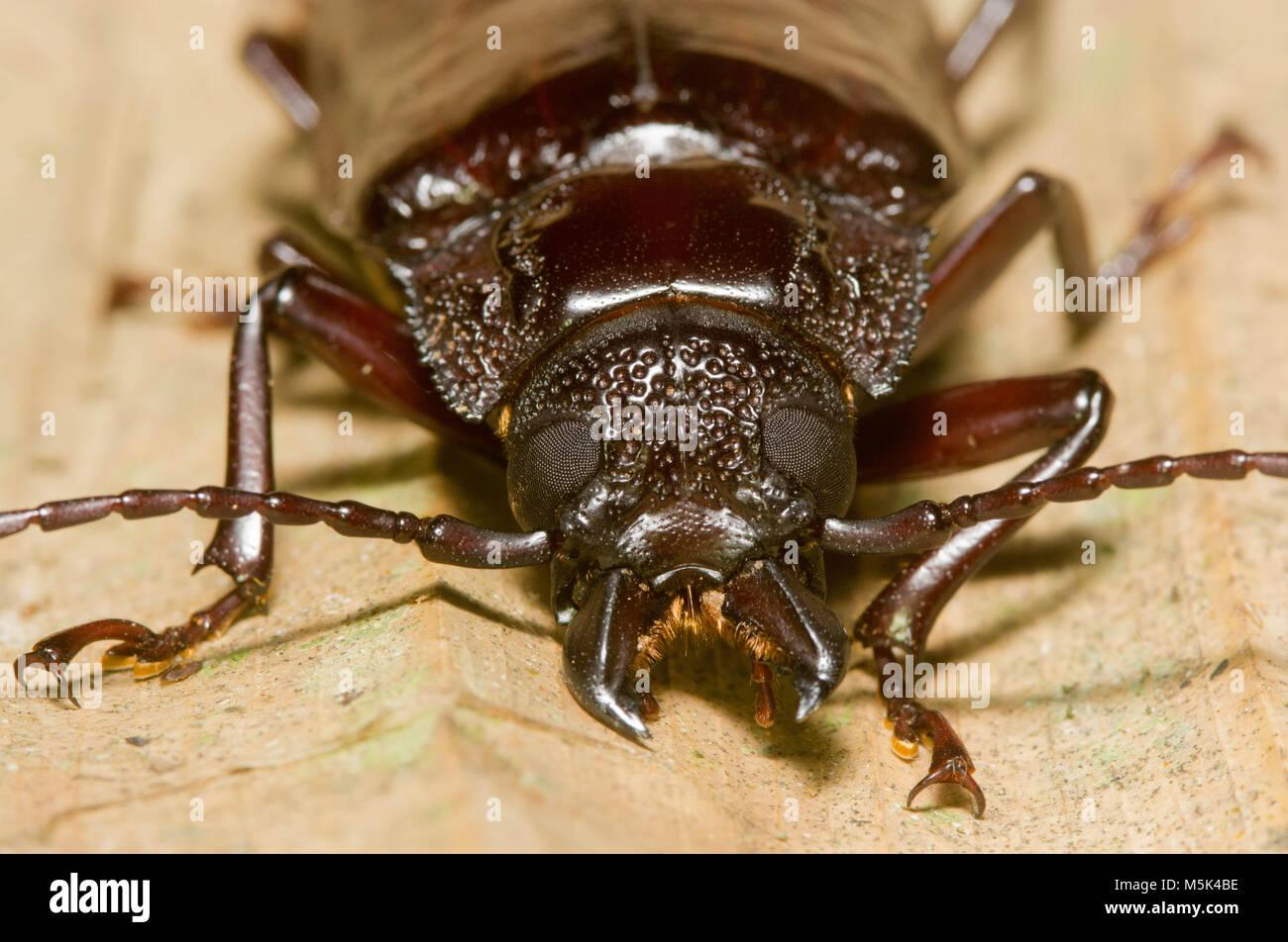 Some sort of menacing beetle from Ecuador. - Stock Image