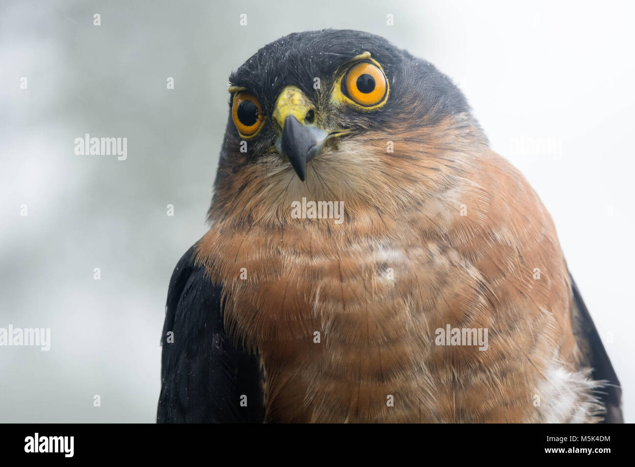 A tiny hawk (Accipiter superciliosus) is one of the smallest hawk species but despite that it is a fierce predator - Stock Image