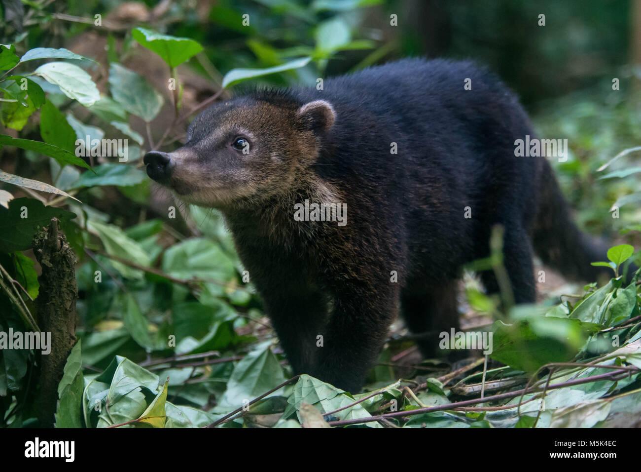 A coati from the Ecuadorian jungle. - Stock Image