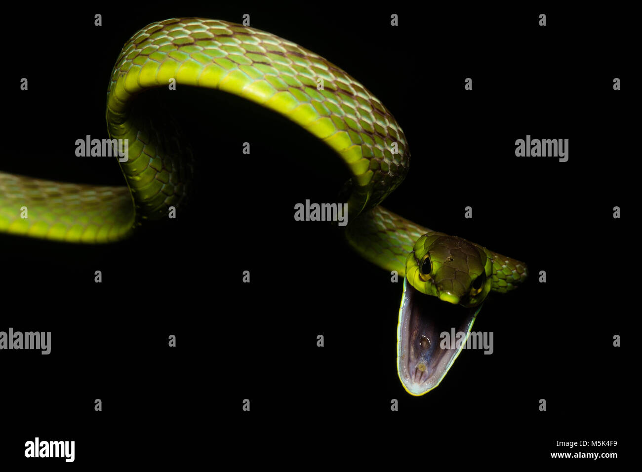 A cope's vine snake (Oxybelis brevirostris) attempts to look as scary as possible in order to scare off predators. Stock Photo