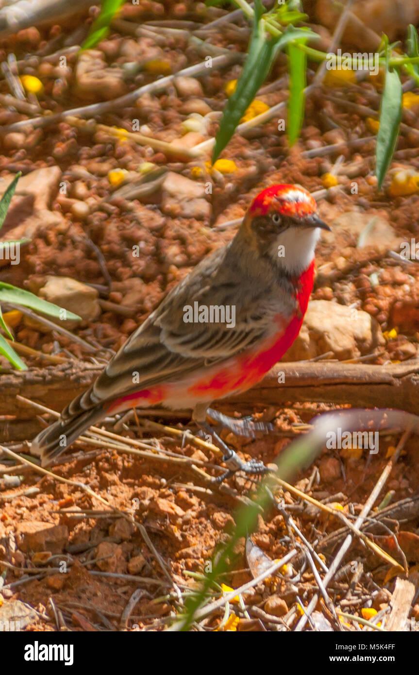 Crimson Chat, Epthianura tricolor at Alice Springs, NT, Australia Stock Photo