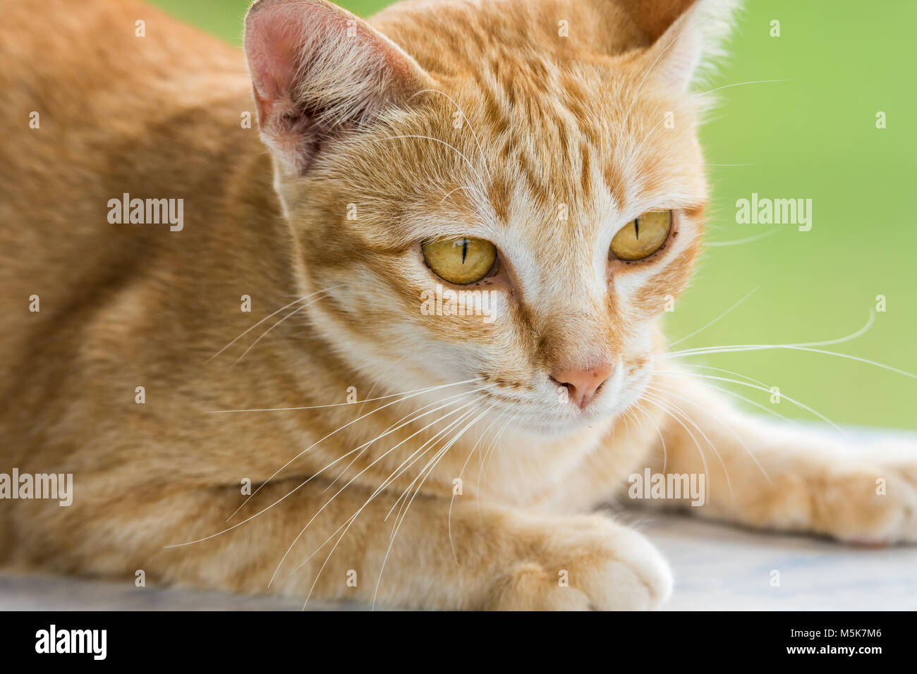 Couching down cute orange stripped cat with green blurred background - Stock Image