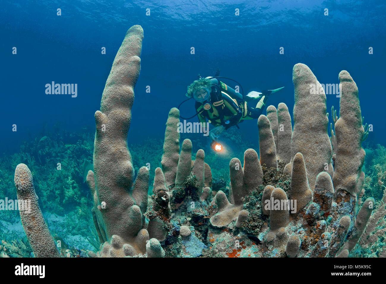 Scuba diver at a Pillar coral (Dendrogyra cylindrus), caribbean coral reef at Palmetto Bay, Roatan island, Bay islands, - Stock Image