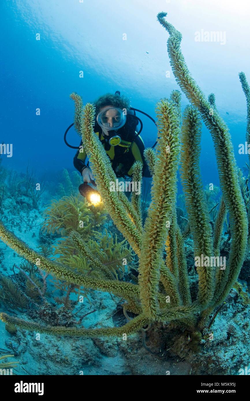 Scuba diver at a giant slit-pore sea rod (Plexaurella nutans), caribbean coral reef at Palmetto Bay, Roatan island, - Stock Image