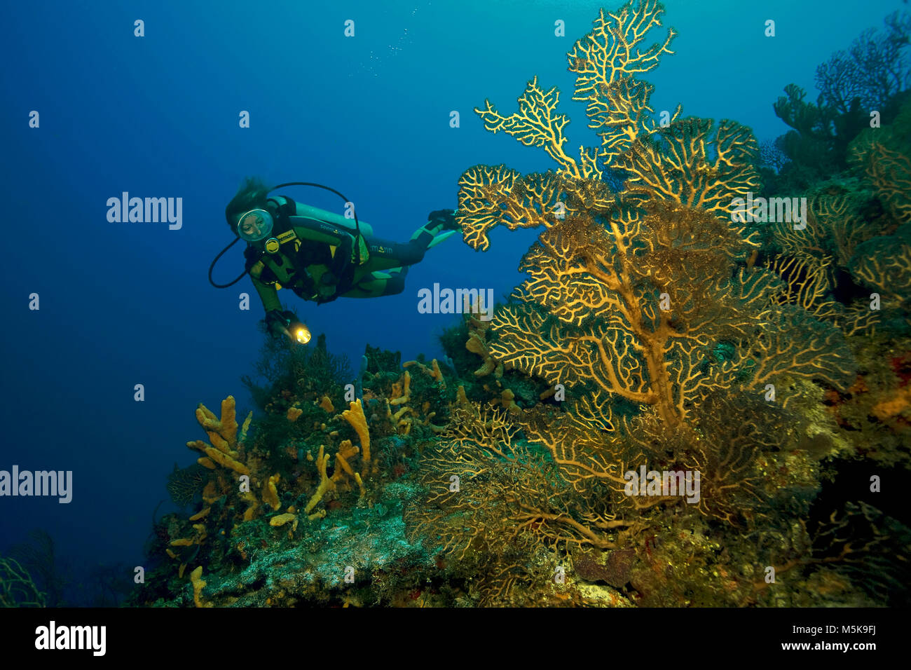 Scuba diver at a deep water sea fan, coral reef at Cozumel island, Mexico, Caribbean - Stock Image