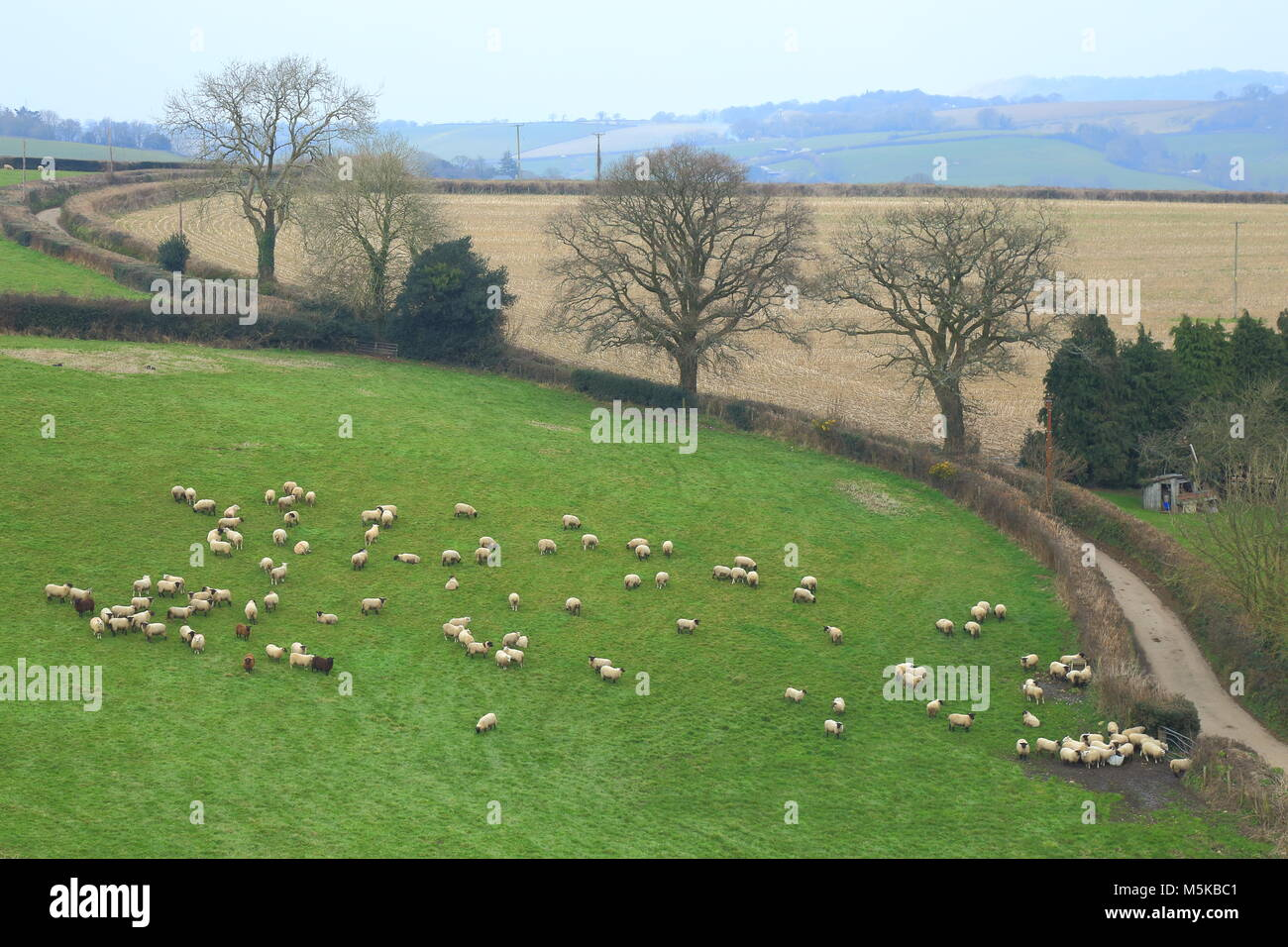 Flock of sheep graze on the farmland in East Devon Area of Outstanding Natural Beauty - Stock Image