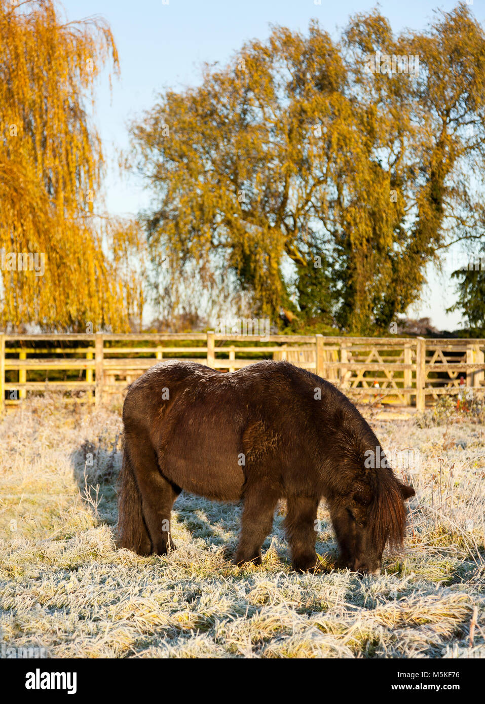 A pony grazing on frosted grass in the Autumn - Stock Image
