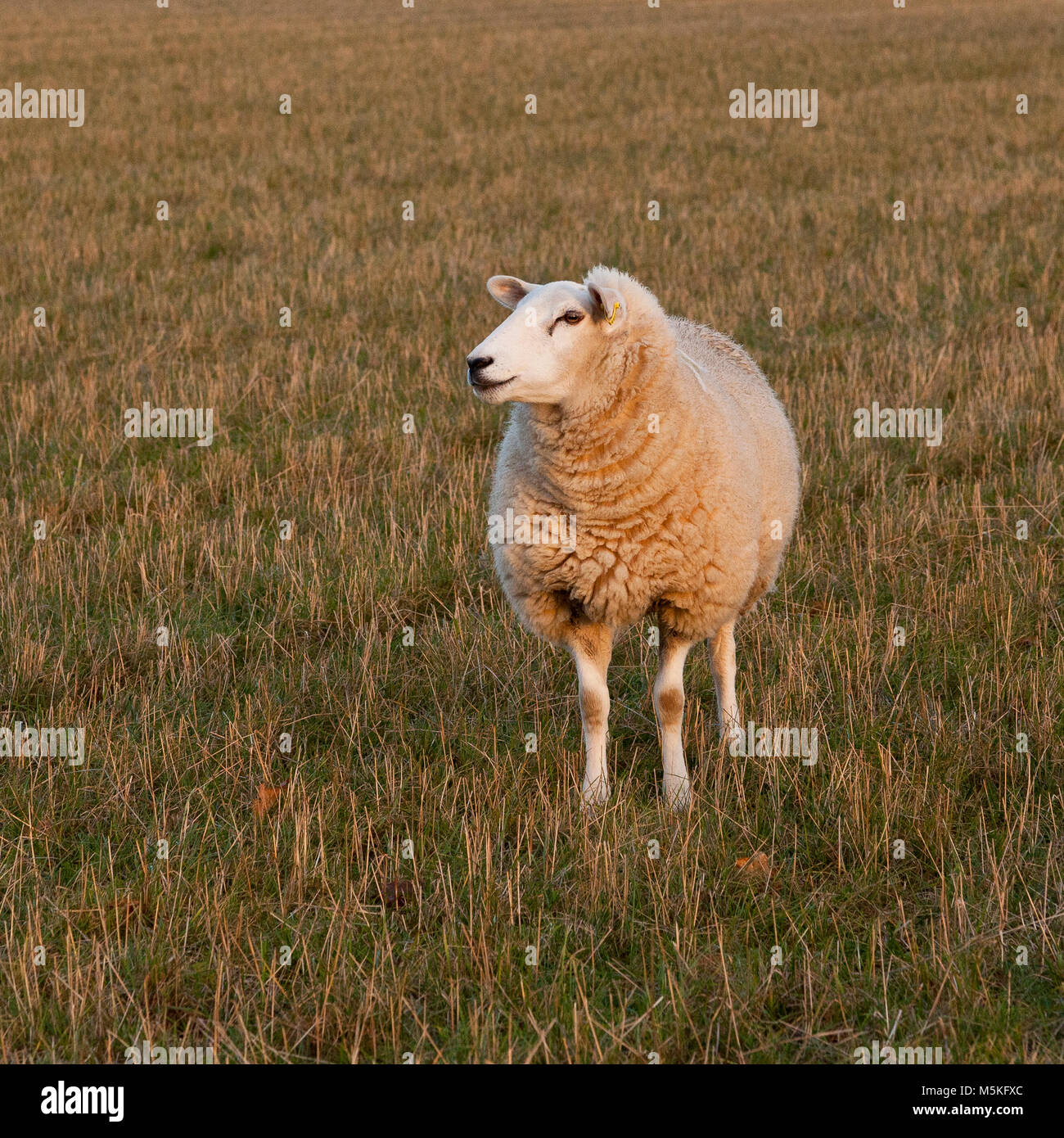 A white sheep standing in a grass field Stock Photo