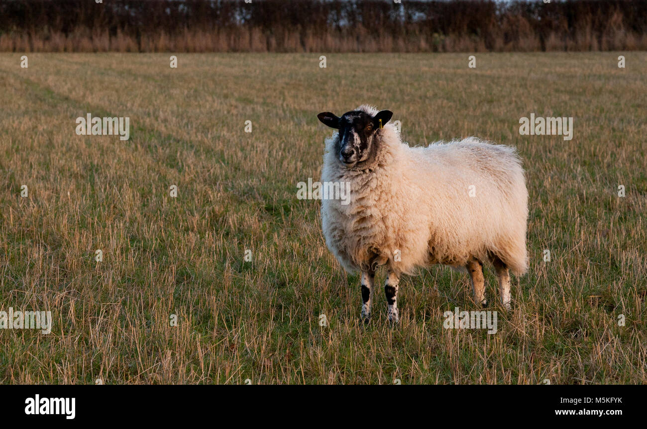 A cross bred Mule sheep standing in a grass field - Stock Image
