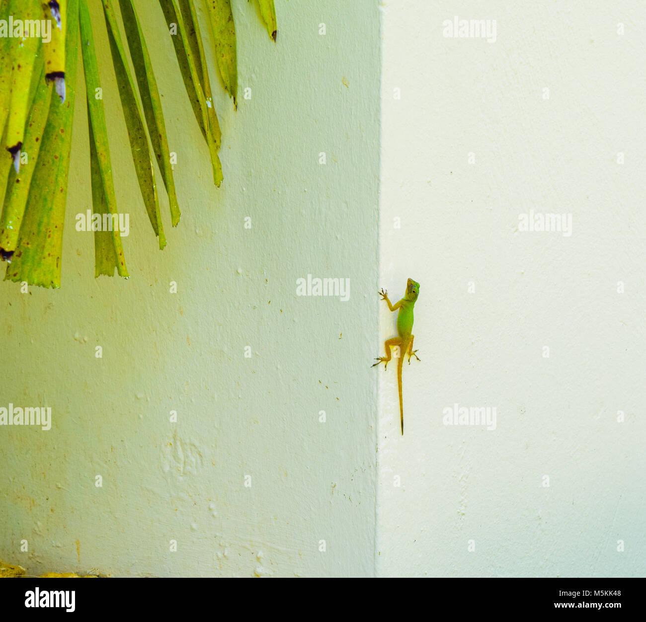 Lizard Reptile climbing on a wall - Stock Image