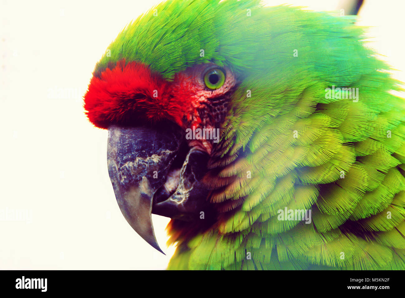 The military macaw (Ara militaris) is a large parrot and a medium-sized macaw. - Stock Image