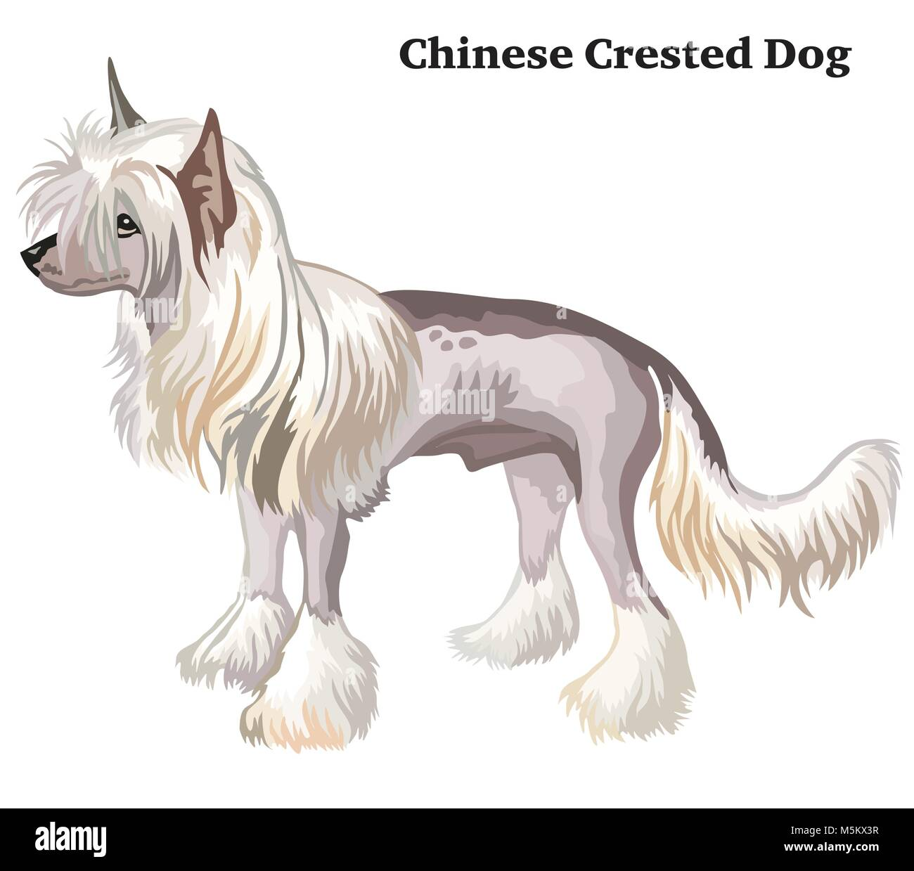 Portrait of standing in profile Chinese Crested Dog, vector colorful illustration isolated on white background - Stock Vector