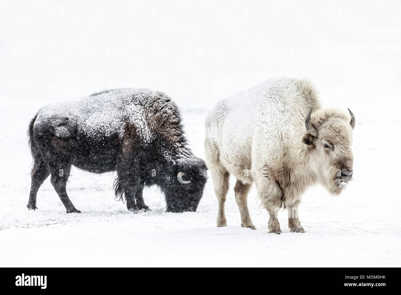 Sacrad White Bison, or Buffalo, Manitoba, Canada. - Stock Image