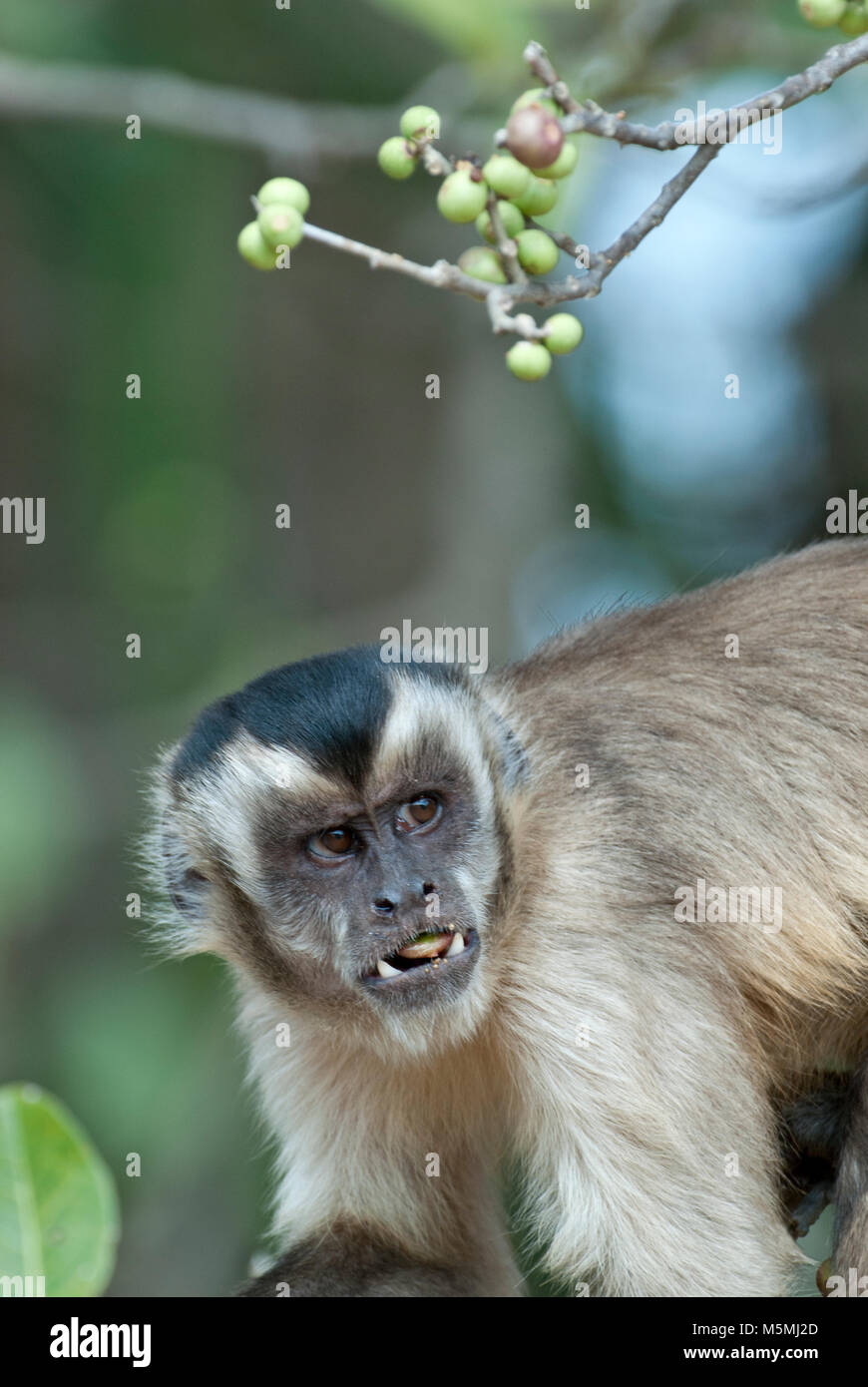 Black-striped (aka bearded) capuchin feeding on palm nuts and scowling - Stock Image