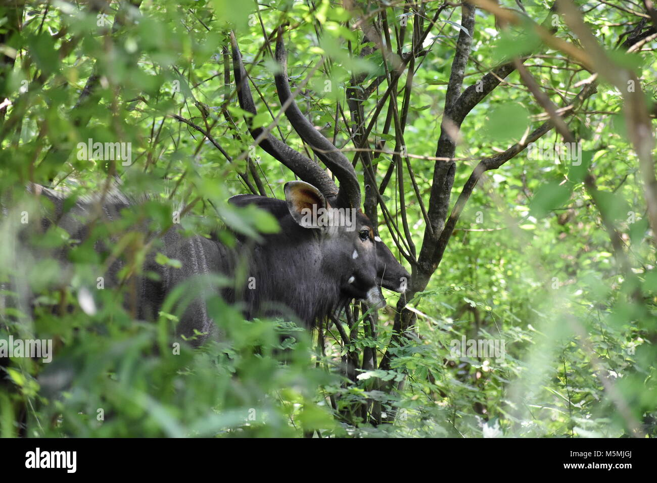 A Nyala Bull Ruminating In The Bushes - Stock Image