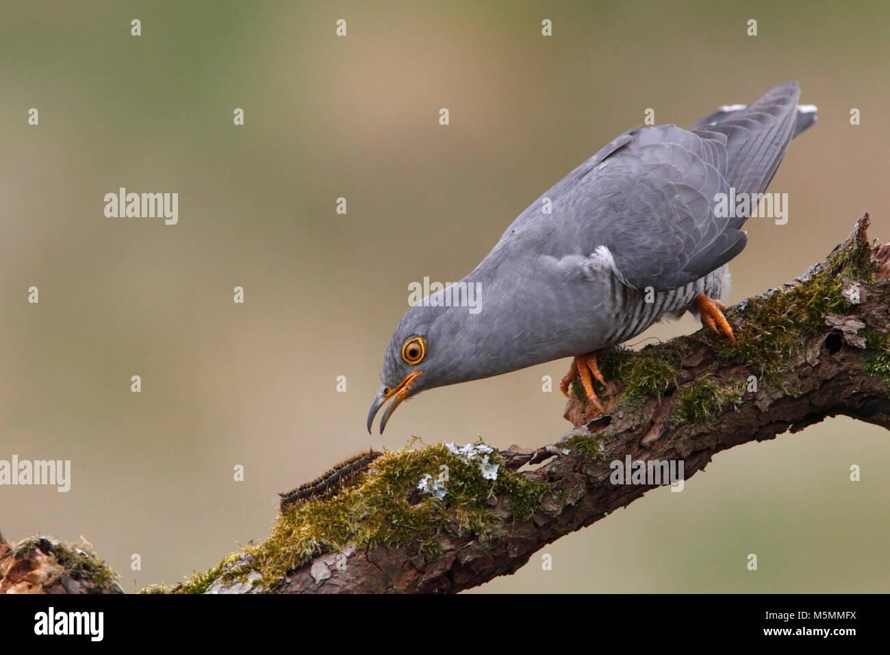 CUCKOO (Cuculus canorus) UK. - Stock Image