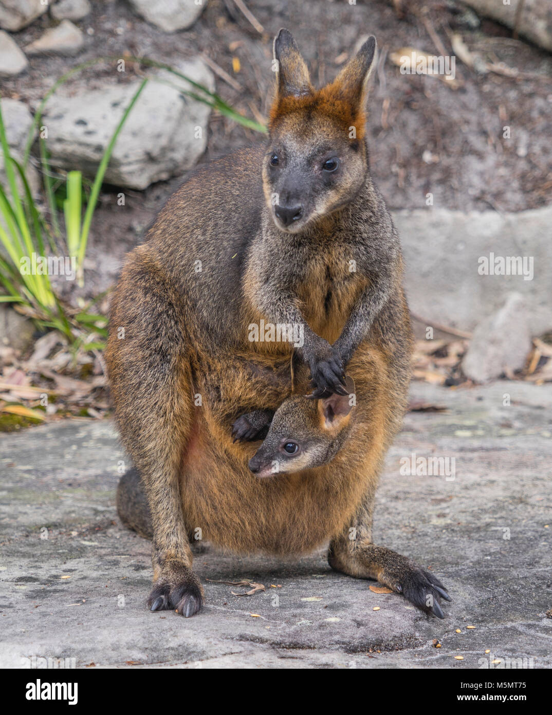 Swamp Wallaby mum with joey, Wallabia bicolor - Stock Image