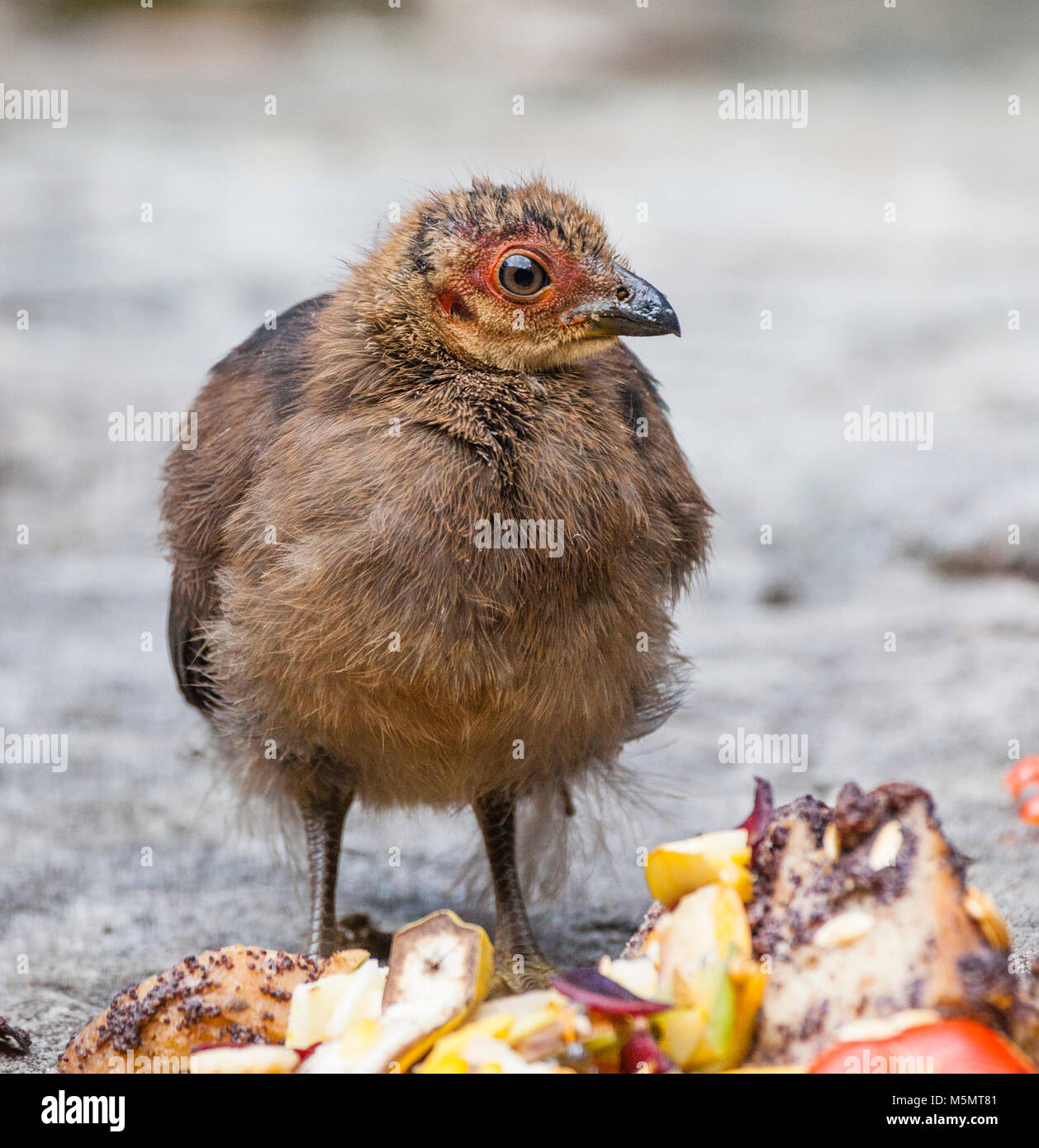 Australian Brush-turkey chick (Alectura lathami). Brush-turkey chicks have to fend for themselves right after hatching. - Stock Image