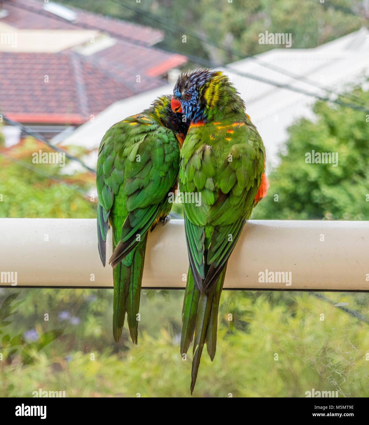 pair of Rainbow Lorikeets (Trichoglossus haematodus) cuddle up on a rainy day - Stock Image