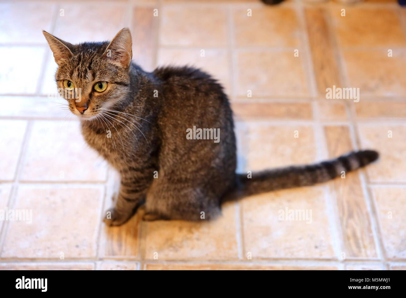A cat is an animal that always walks its own paths and it does not matter whether it is a pure rooster or an ordinary Stock Photo