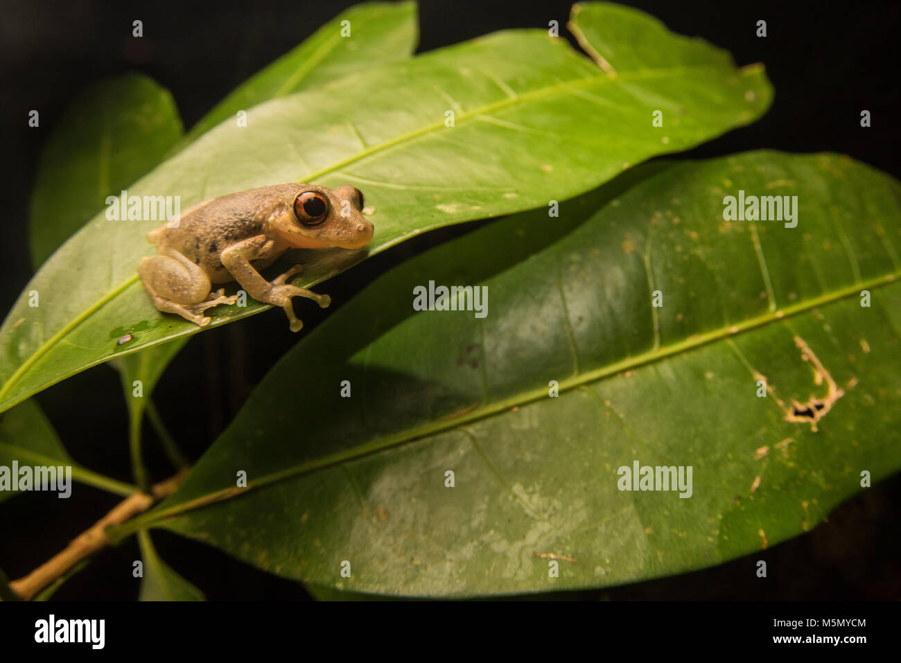 A small neotropical tree frog from the Scinax genus. - Stock Image