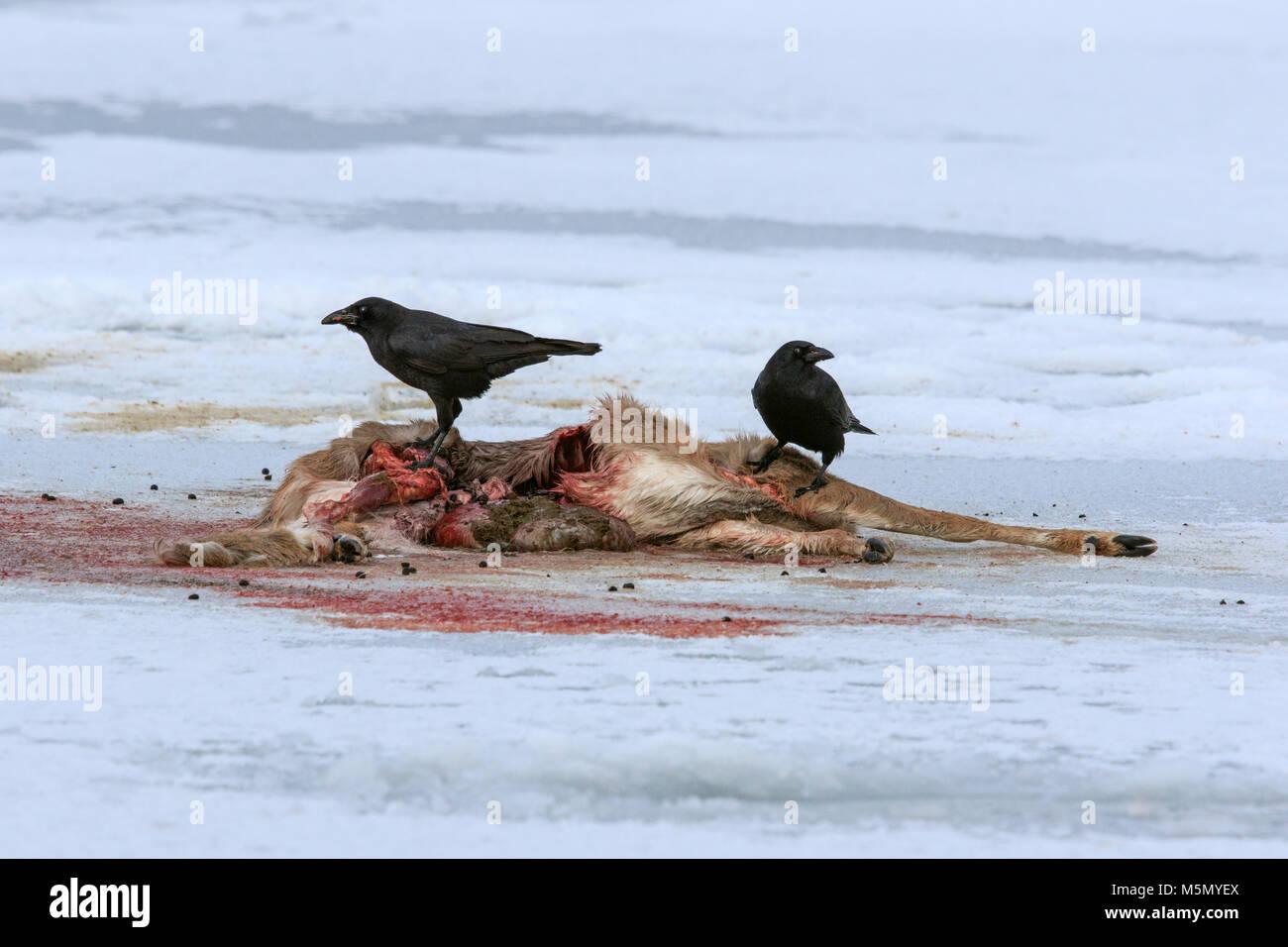 Crows Picking Over Prairie Burn On >> American Crows Stock Photos American Crows Stock Images Alamy