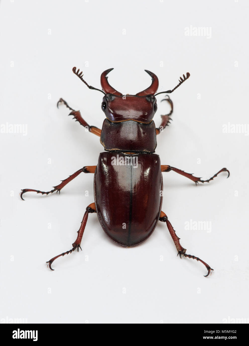 Reddish-brown Stag Beetle (Lucanus capreolus) Captive studio image - Stock Image