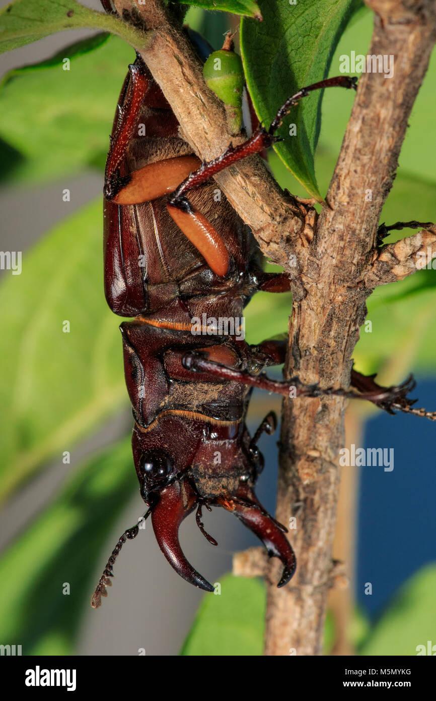 Reddish-brown Stag Beetle (Lucanus capreolus) on plant - Stock Image