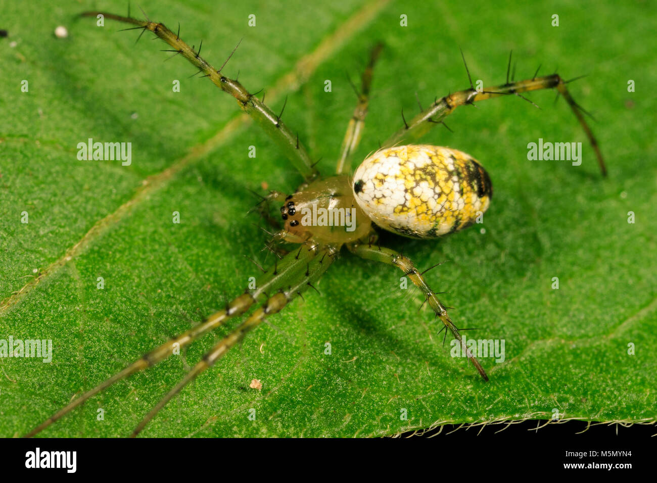 Greenlegged orbweaver spider (Mangora maculata) - Stock Image