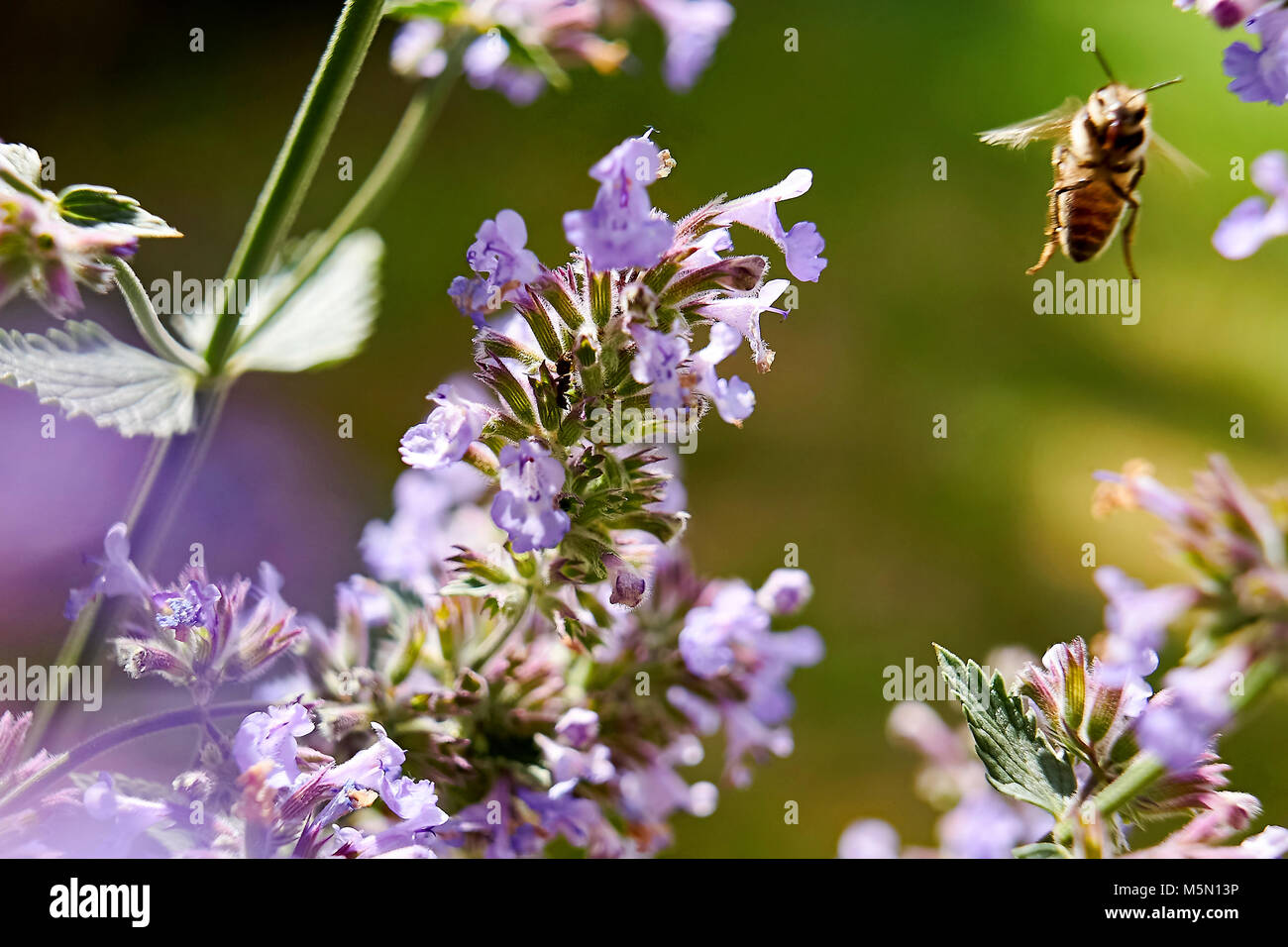 Summer meadow - bee collecting floral nectar, large close-up (macro) - Stock Image