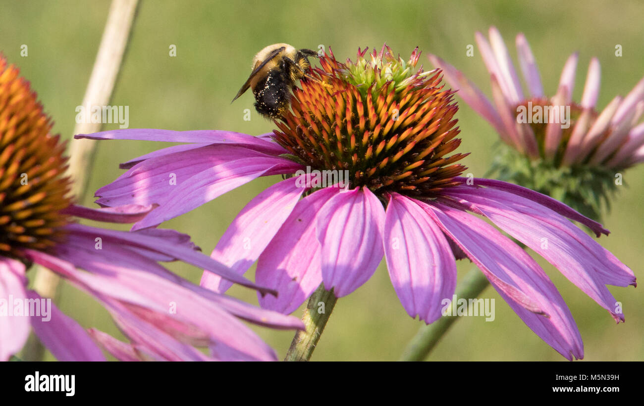 A Bumble Bee on a pinkish lavender flower collecting nectar. - Stock Image
