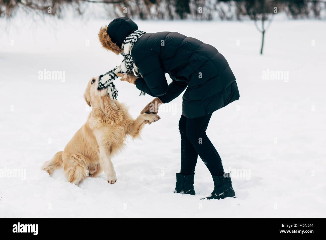 Picture of woman in black jacket with retriever walking in winter park - Stock Image