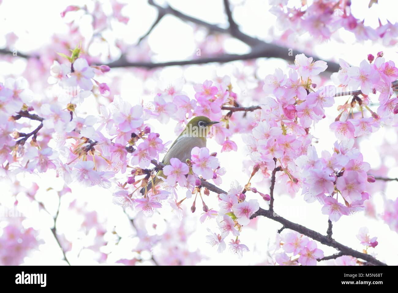 Japanese Bird Cherry Blossom Stock Photos Japanese Bird Cherry