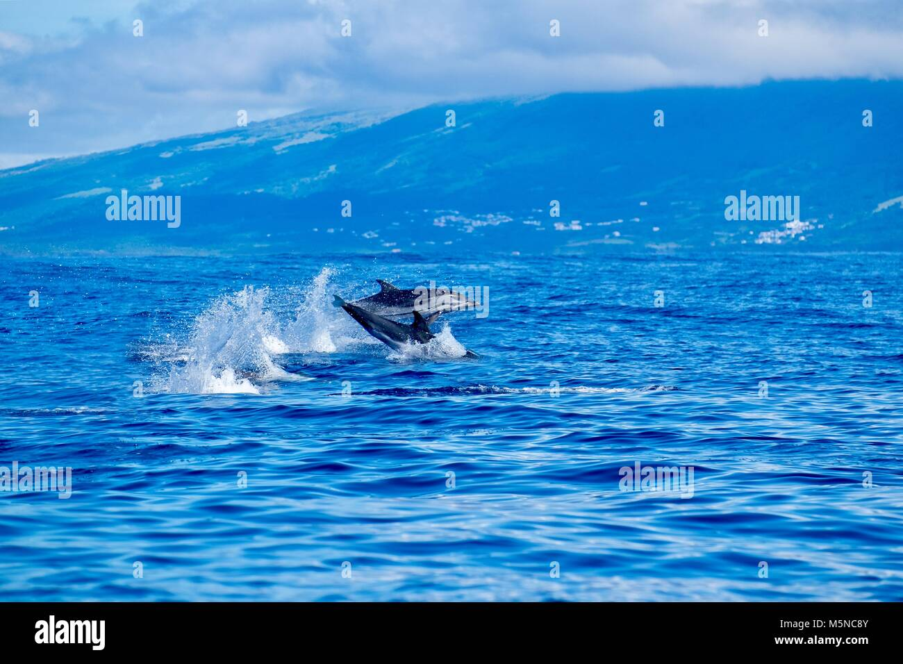 Striped dolphins skimming across the ocean near Pico island - Stock Image