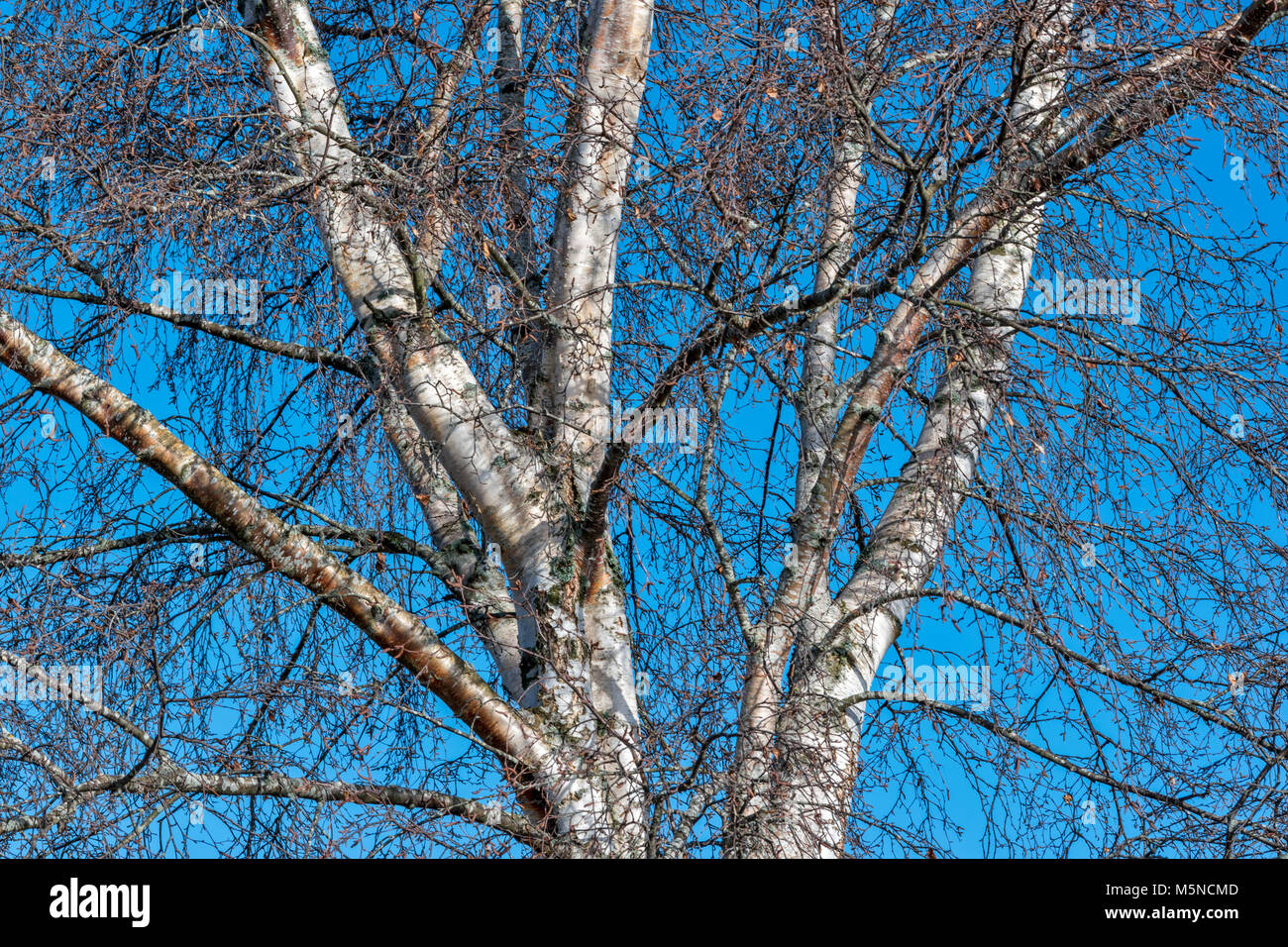 SILVER BIRCH TREE BETULA PENDULA TRUNK AND BRANCHES IN WINTER WITH SILVER BARK AND BROWN CATKINS - Stock Image
