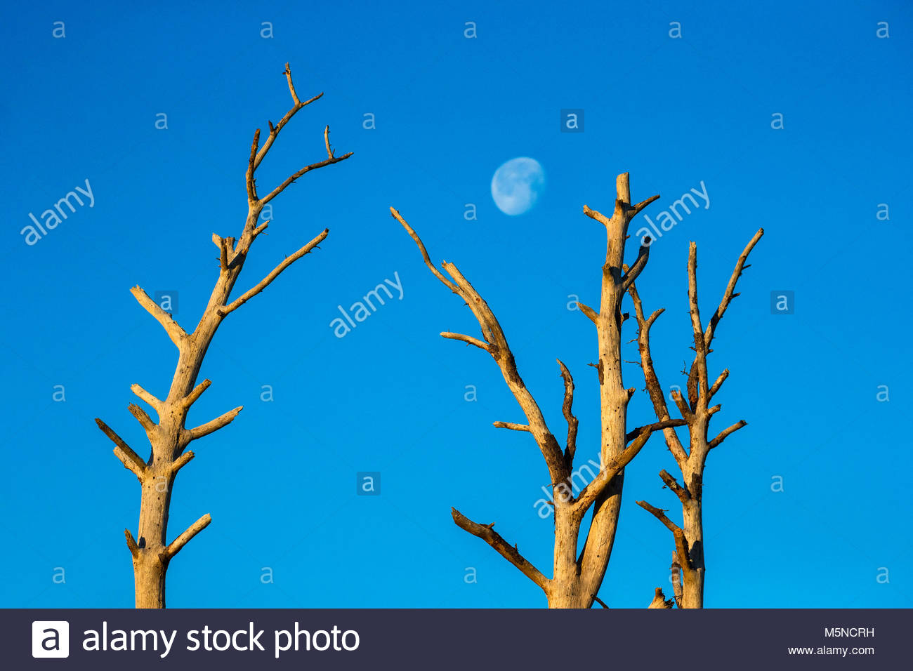 The nearly full moon prepares to set between two bleached snags in the Black Duck Marsh in the Chincoteague National - Stock Image