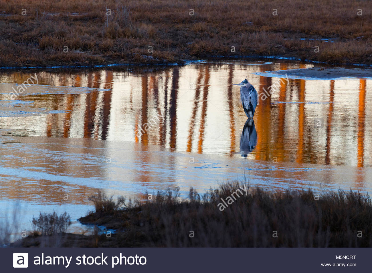 A great blue heron (Ardea herodias) hunts in a thawed-out portion of a pond in the Black Duck Marsh in the Chincoteague - Stock Image