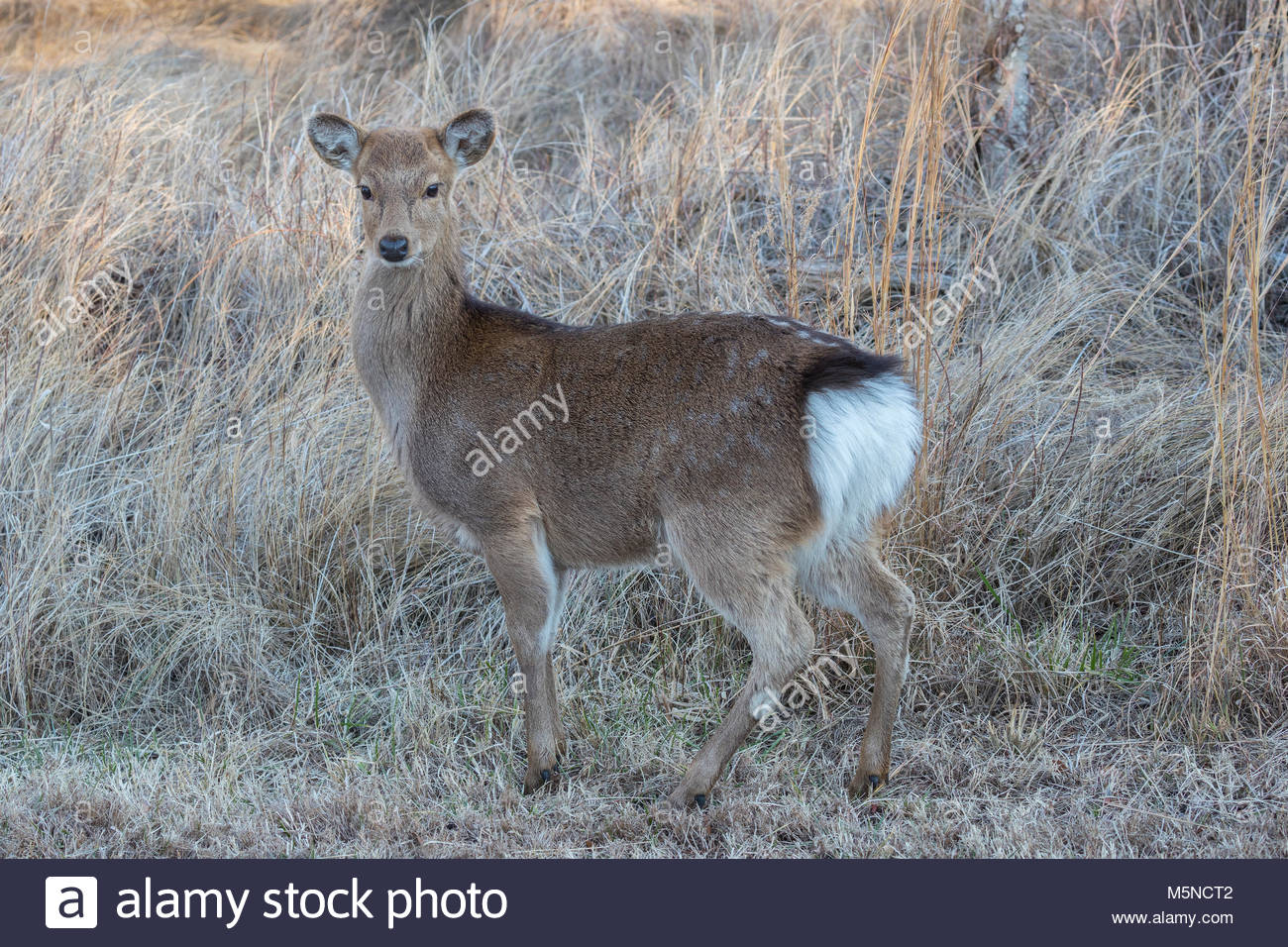 A Sika deer (Cervus nippon) poses in the grass along a marsh in the Chincoteague National Wildlife Refuge on Assateague - Stock Image