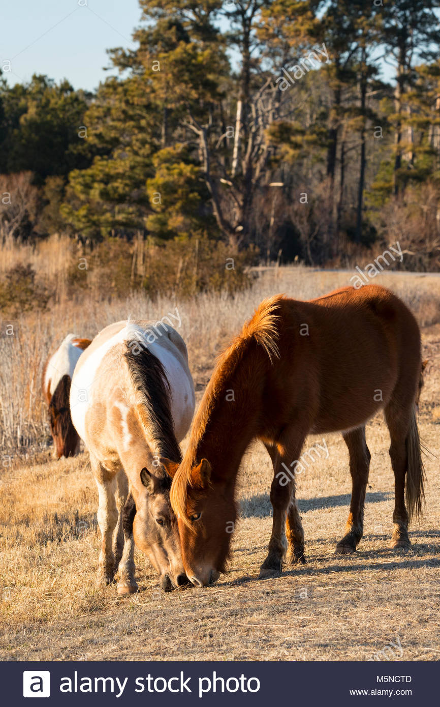 Chincoteague ponies (Equus caballus), also known as Assateague horses, feed together on Assateague Island in the - Stock Image