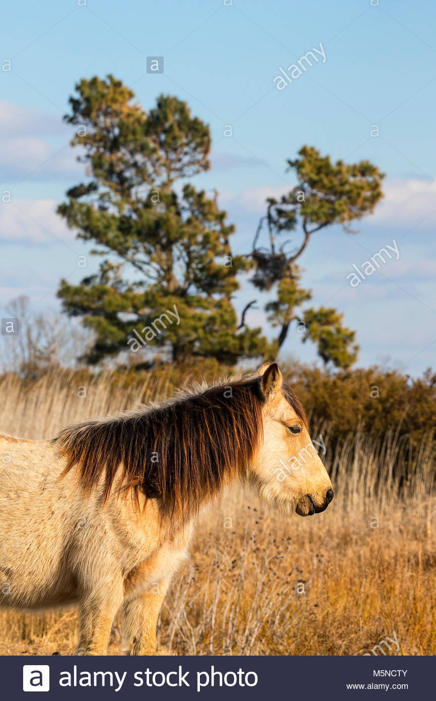 A stallion stands watch over a marsh in the Chincoteague National Wildlife Refuge in Virginia. About 300 wild — - Stock Image