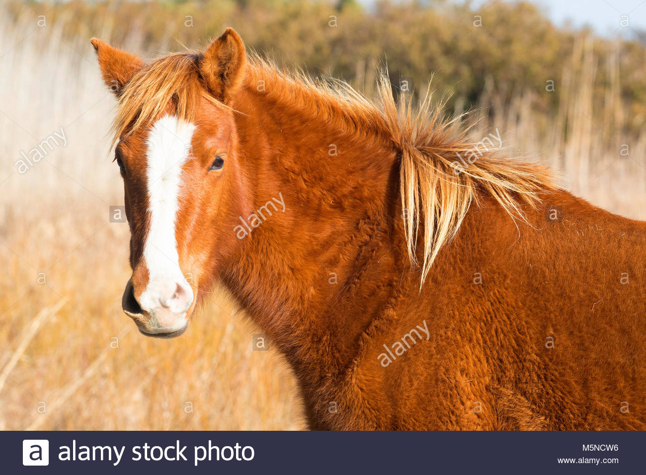 A Chincoteague pony (Equus caballus), also known as an Assateague horse, poses with a wind-blown mane in a marsh - Stock Image