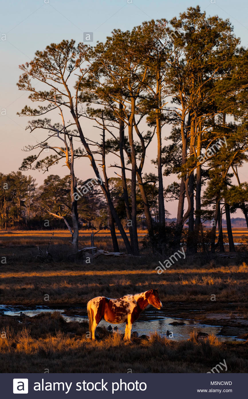 A Chincoteague pony (Equus caballus), also known as an Assateague horse, is illuminated by the first light of day - Stock Image