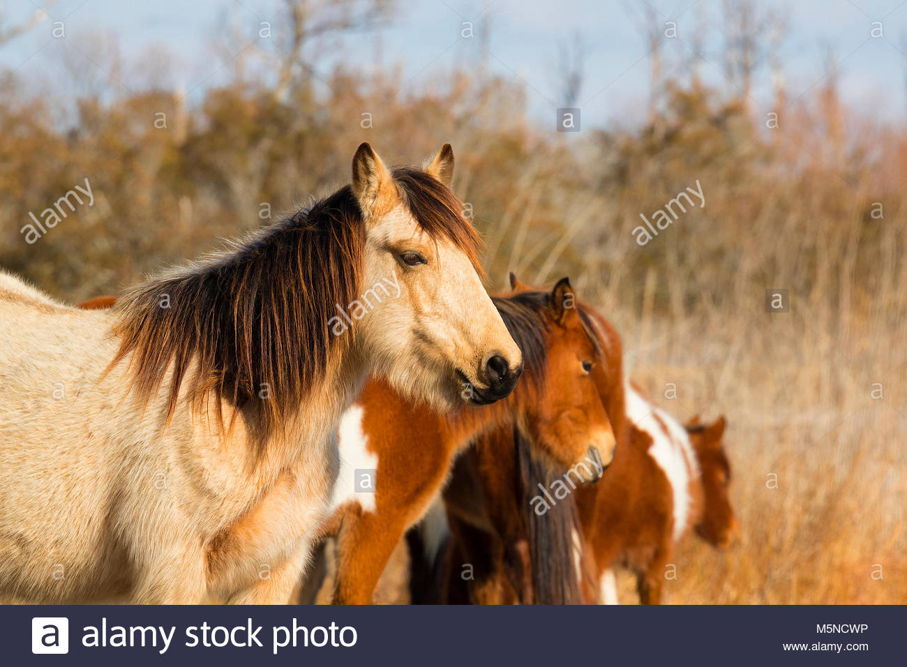 A stallion watches over several Chincoteague ponies (Equus caballus), also known as Assateague horses, in a marsh - Stock Image