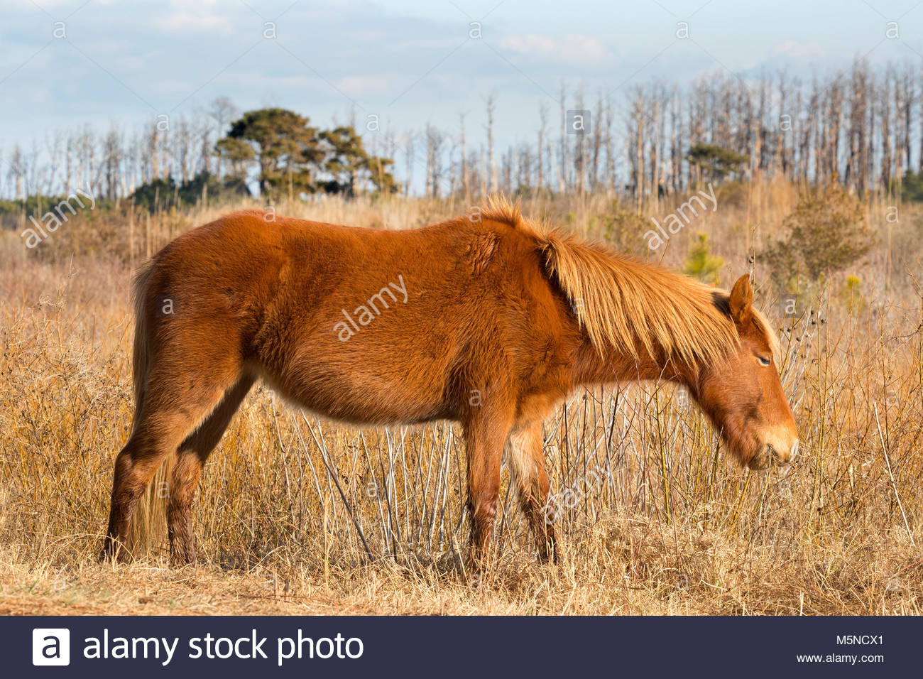 A Chincoteague pony (Equus caballus), also known as an Assateague horse, grazes in a marsh on Assateague Island - Stock Image