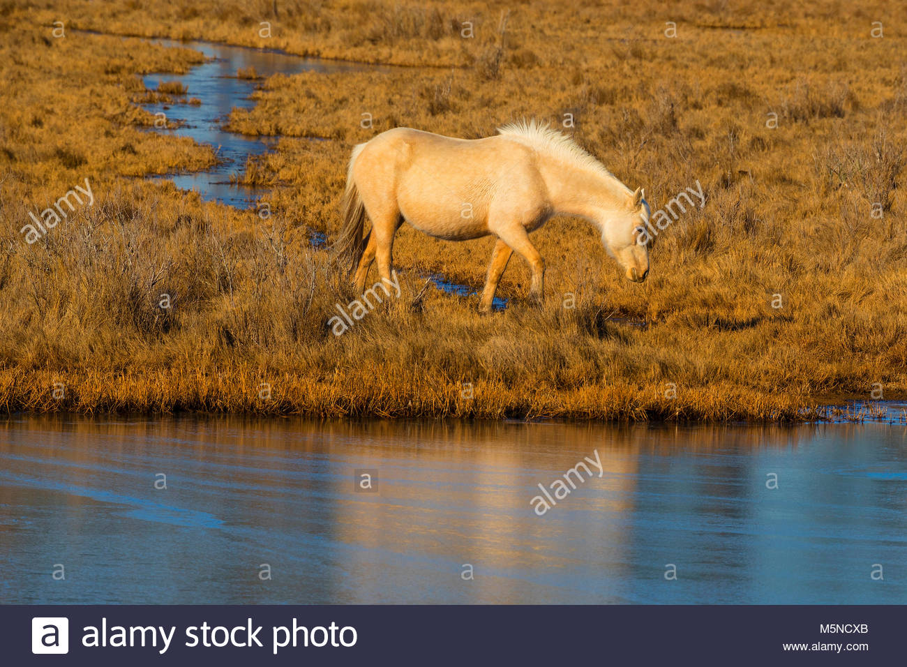 A Chincoteague pony (Equus caballus), also known as an Assateague horse, walks through a marsh on Assateague Island - Stock Image