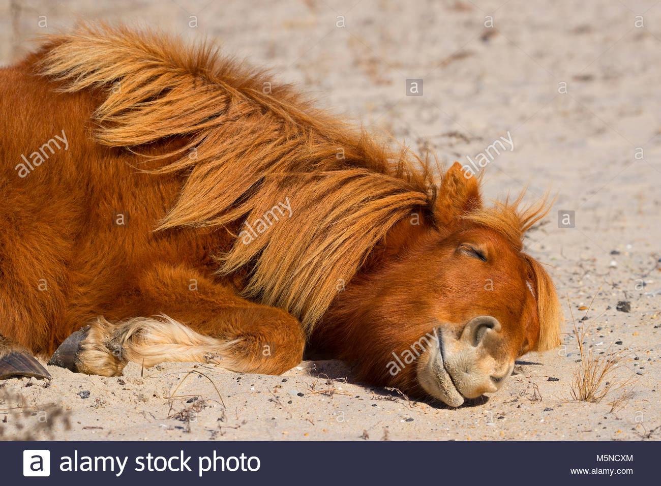 An Assateague horse (Equus caballus), also known as a Chincoteague pony, takes a nap on a sand dune in the Assateague - Stock Image