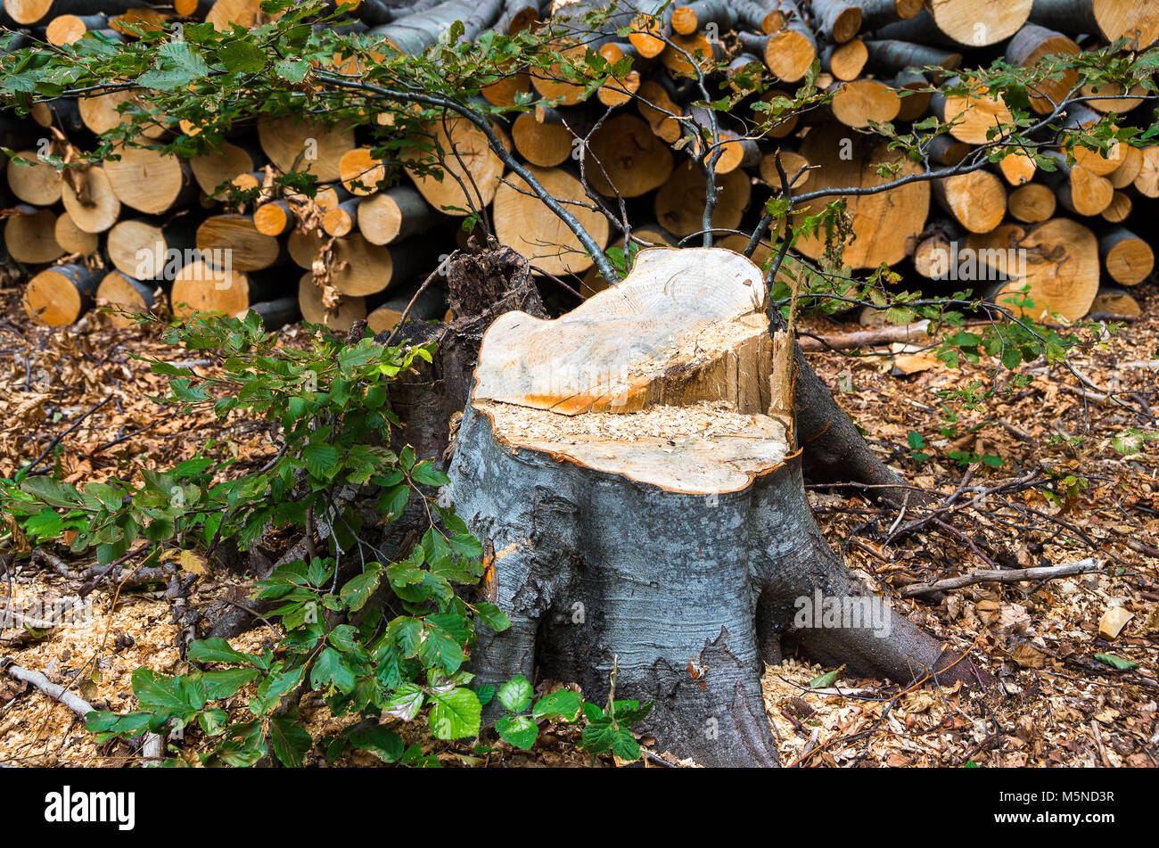 illegal felling of trees in the forest - Stock Image
