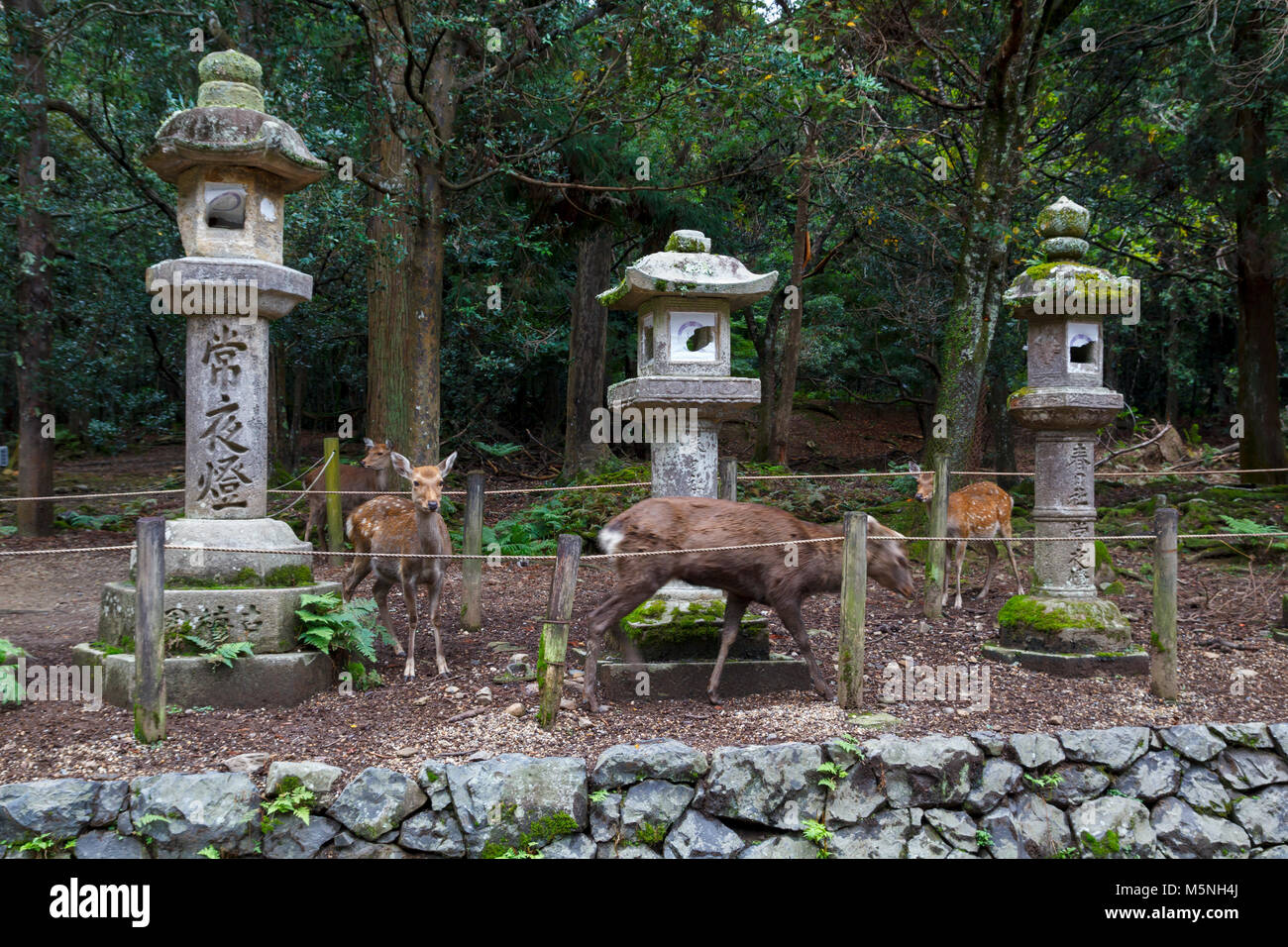 Stone lanterns and deers in Kasuga Taisha Shrine in Nara, Japan - Stock Image