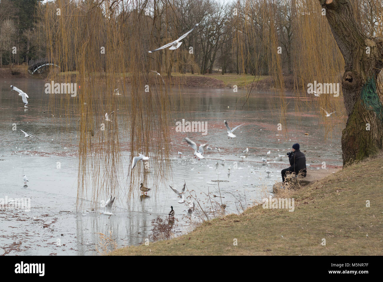 Magdeburg, Germany - February 25,2018: A hobby photographer takes pictures of seagulls and ducks looking for food Stock Photo